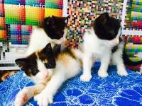 Подаряваме три котета с дълъг косъм.