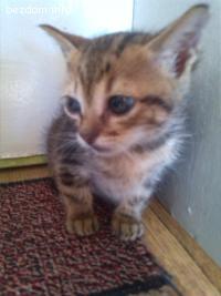 Прекрасни бенгалски котета!