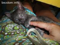 СИВО коте на 2 месеца