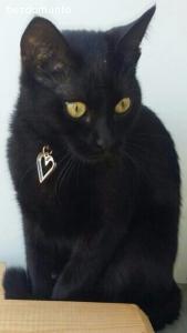 Загубено е черно женско коте