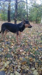 Загубено кученце - прилича на Немска Овчарка