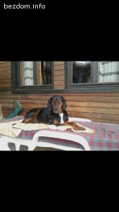 загубено мъжко куче гонче